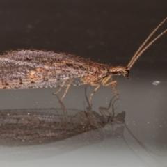 Oedosmylus tasmaniensis (Lacewing) at Melba, ACT - 10 Mar 2021 by kasiaaus