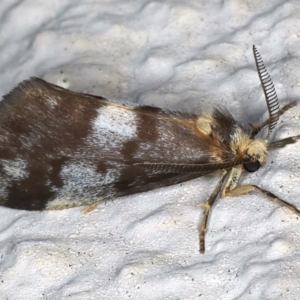 Anestia (genus) at Ainslie, ACT - 19 Mar 2021