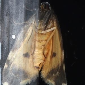 Thallarcha albicollis at Ainslie, ACT - 19 Mar 2021
