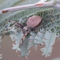 Araneus sp. (genus) (Orb weaver) at The Pinnacle - 15 Mar 2021 by AlisonMilton
