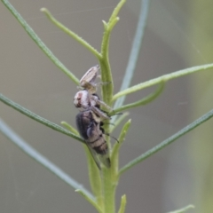 Opisthoncus sp. (genus) (Unidentified Opisthoncus jumping spider) at The Pinnacle - 15 Mar 2021 by AlisonMilton