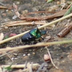 Onthophagus dandalu (Dung beetle) at Wodonga - 21 Mar 2021 by Kyliegw