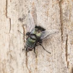 Rutilia sp. (genus) (A Rutilia bristle fly, subgenus unknown) at Acton, ACT - 16 Mar 2021 by AlisonMilton