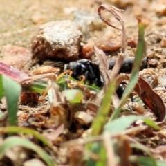 Fabriogenia sp. (genus) (TBC) at Wodonga - 21 Mar 2021 by Kyliegw