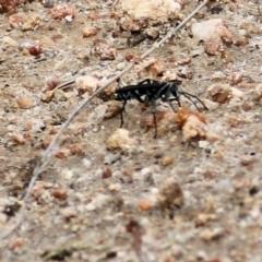 Turneromyia sp. (genus) (TBC) at Wodonga - 21 Mar 2021 by Kyliegw