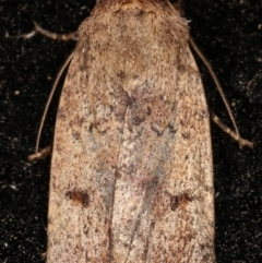 Proteuxoa (genus) (A Noctuid moth) at Melba, ACT - 11 Mar 2021 by kasiaaus
