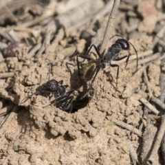 Camponotus aeneopilosus (A Golden-tailed sugar ant) at Acton, ACT - 16 Mar 2021 by AlisonMilton