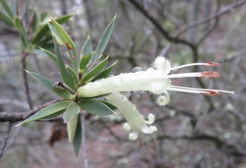 Styphelia triflora at Molonglo Gorge - 21 Mar 2021