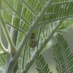 Calomela sp. (genus) (Acacia leaf beetle) at The Pinnacle - 15 Mar 2021 by AlisonMilton