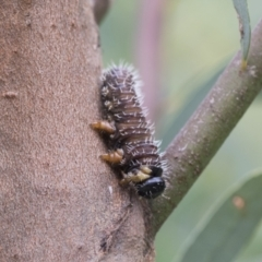 Perginae sp. (subfamily) (Unidentified pergine sawfly) at Acton, ACT - 16 Mar 2021 by AlisonMilton