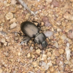 Adelium brevicorne (Bronzed field beetle) at Hawker, ACT - 15 Mar 2021 by AlisonMilton