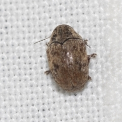 Ditropidus sp. (genus) (TBC) at Downer, ACT - 8 Apr 2019 by AlisonMilton