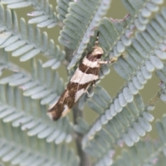 Macrobathra desmotoma ( A Cosmet moth) at Holt, ACT - 15 Mar 2021 by AlisonMilton