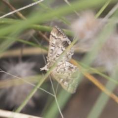 Nacoleia rhoeoalis (A Pyralid Moth) at The Pinnacle - 15 Mar 2021 by AlisonMilton
