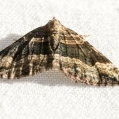 Epyaxa subidaria (Subidaria Moth) at Higgins, ACT - 1 Mar 2021 by AlisonMilton