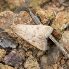 Achyra affinitalis (Cotton Web Spinner) at The Pinnacle - 15 Mar 2021 by AlisonMilton
