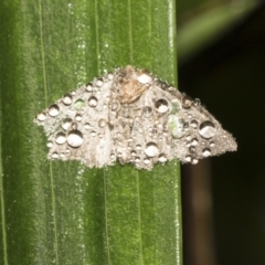 Lepidoptera unclassified ADULT moth at ANBG - 16 Mar 2021
