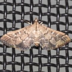 Nacoleia rhoeoalis (A Pyralid Moth) at Higgins, ACT - 18 Mar 2021 by AlisonMilton