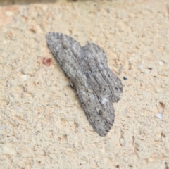 Ectropis excursaria (Common Bark Moth) at Higgins, ACT - 6 Apr 2020 by AlisonMilton