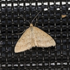 Scopula rubraria (Reddish Wave) at Higgins, ACT - 18 Mar 2021 by AlisonMilton