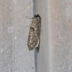 Lepidoscia (genus) (Unidentified cone case moth) at Higgins, ACT - 18 Mar 2021 by AlisonMilton