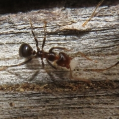 Papyrius sp (undescribed) (Hairy Coconut Ant) at Namadgi National Park - 20 Mar 2021 by Christine