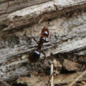 Papyrius sp (undescribed) at Namadgi National Park - 20 Mar 2021