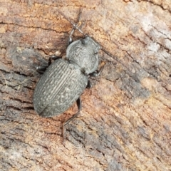 Adelium porcatum (Darkling Beetle) at Umbagong District Park - 20 Mar 2021 by tpreston