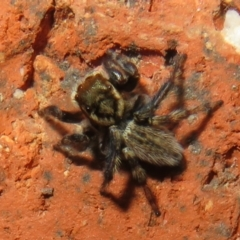 Hypoblemum griseum (A jumping spider) at Flynn, ACT - 19 Mar 2021 by Christine