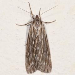 Ciampa arietaria (Forked Pasture-moth) at Melba, ACT - 13 Mar 2021 by kasiaaus