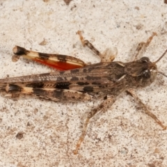 Austroicetes sp. (genus) (A grasshopper) at Melba, ACT - 13 Mar 2021 by kasiaaus