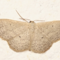 Scopula optivata (Varied Wave) at Melba, ACT - 13 Mar 2021 by kasiaaus