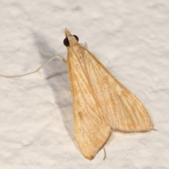 Antigastra catalaunalis (Spilomelinae) (Sesame Leaf-roller) at Melba, ACT - 13 Mar 2021 by kasiaaus