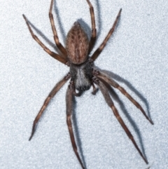 Unidentified Spider (Araneae) (TBC) at Melba, ACT - 13 Mar 2021 by kasiaaus