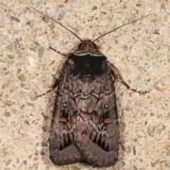 Proteuxoa bistrigula (An Owlet Moth) at Melba, ACT - 13 Mar 2021 by kasiaaus