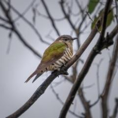 Chrysococcyx lucidus (Shining Bronze-Cuckoo) at Mcleods Creek Res (Gundaroo) - 20 Mar 2021 by trevsci