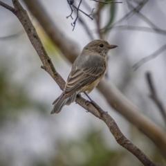 Pachycephala rufiventris (Rufous Whistler) at Gundaroo, NSW - 20 Mar 2021 by trevsci