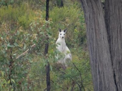 Macropus giganteus (Eastern Grey Kangaroo) at Mcleods Creek Res (Gundaroo) - 20 Mar 2021 by trevsci