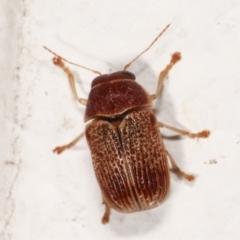 Cadmus sp. (genus) (TBC) at Melba, ACT - 13 Mar 2021 by kasiaaus