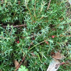 Astroloma humifusum (Cranberry heath) at Mount Taylor - 21 Mar 2021 by LOz