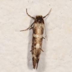 Lepidoscia (genus) (Unidentified cone case moth) at Melba, ACT - 13 Mar 2021 by kasiaaus