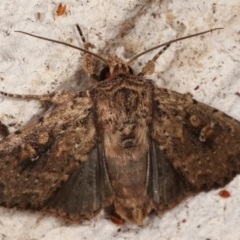 Dasygaster padockina (Tasmanian cutworm) at Melba, ACT - 13 Mar