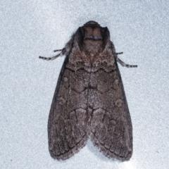 Calathusa (genus) (a Calathusa Moth) at Melba, ACT - 13 Mar 2021 by kasiaaus