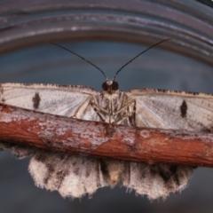 Unplaced externaria (Mahogany Bark Moth) at Melba, ACT - 24 Mar 2021 by kasiaaus