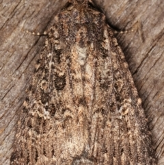 Condica aroana (A Noctuoid moth) at Melba, ACT - 15 Mar 2021 by kasiaaus