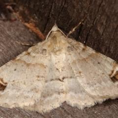 Syneora hemeropa (Ring-tipped Bark Moth) at Melba, ACT - 15 Mar 2021 by kasiaaus