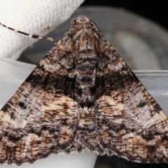 Gastrinodes argoplaca (Cryptic Bark Moth) at Melba, ACT - 15 Mar 2021 by kasiaaus