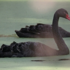 Cygnus atratus (Black Swan) at Wonga Wetlands - 16 Mar 2021 by PaulF