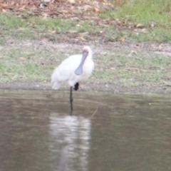 Platalea regia (Royal Spoonbill) at Wonga Wetlands - 16 Mar 2021 by PaulF