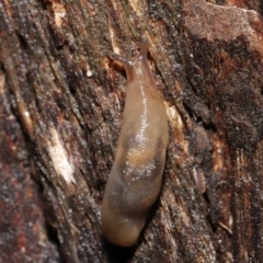 Ambigolimax nyctelia (Striped Field Slug) at ANBG - 21 Mar 2021 by TimL